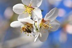 Fondo del resorte Árbol maravillosamente floreciente con una abeja Flor en naturaleza Imagen de archivo