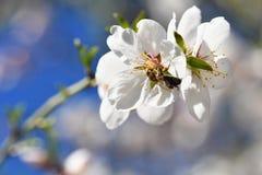 Fondo del resorte Árbol maravillosamente floreciente con una abeja Flor en naturaleza Imagenes de archivo