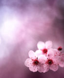 Fondo del resorte con las flores y los colores rosados Fotografía de archivo
