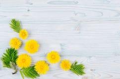 Fondo del resorte Flores del diente de león y hojas amarillas del verde en el tablero de madera azul claro con el espacio de la c Fotografía de archivo libre de regalías