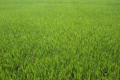 Fondo del riso dell'azienda agricola Fotografia Stock