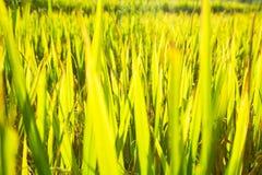 Fondo del riso & dell'erba Fotografia Stock