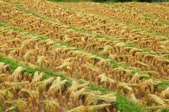 Fondo del riso dell'oro Immagine Stock Libera da Diritti