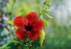 Fondo del rojo del hibisco Fotografía de archivo libre de regalías