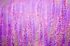 Fondo del sabio púrpura Fotos de archivo