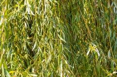 Fondo del salice piangente in autunno Fotografia Stock Libera da Diritti