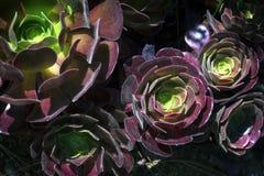 Fondo del succulent del Aeonium Imagenes de archivo
