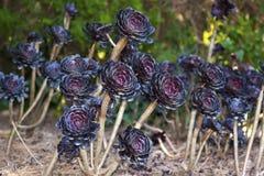 Fondo del succulent del Aeonium Fotos de archivo