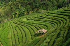 Fondo del t? verde - le foglie fresche si chiudono su su fondo vago alle piantagioni di t? nel progetto reale Angkhang, Chiang Ma fotografia stock