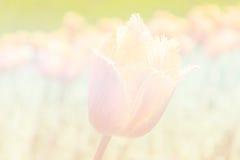 Fondo del tono del vintage del campo im del tulipán Fotografía de archivo libre de regalías