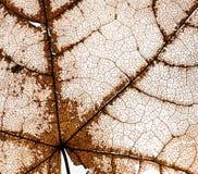 Fondo del transpare delicato dilapidato della foglia di acero openwork Fotografie Stock Libere da Diritti