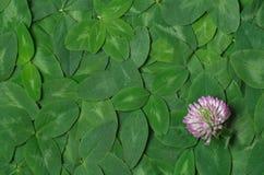 Fondo del trifoglio verde della foglia con il fiore immagine stock