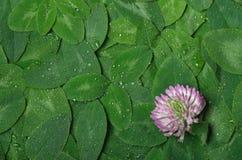 Fondo del trifoglio verde della foglia con il fiore e le gocce di acqua fotografia stock libera da diritti