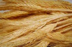 Fondo del trigo   Foto de archivo