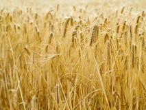 Fondo del trigo Foto de archivo libre de regalías