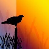 Fondo del trigo del halcón Foto de archivo