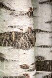 Fondo del tronco de árbol de abedul Fotos de archivo