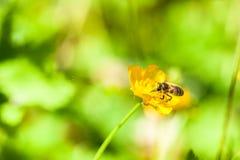 Fondo del verano: abeja de la miel que poliniza la flor colorida Fotos de archivo