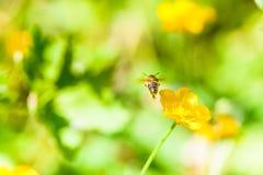 Fondo del verano: abeja de la miel que poliniza la flor colorida en un Br Fotos de archivo
