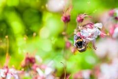 Fondo del verano: abeja de la miel que poliniza la flor colorida en un Br Foto de archivo