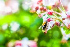 Fondo del verano: abeja de la miel que poliniza la flor colorida en un Br Foto de archivo libre de regalías