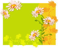 Fondo del verano con los daisys del ojo de buey Fotografía de archivo