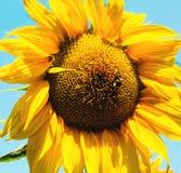 Fondo del verano, girasol amarillo brillante Fotografía de archivo libre de regalías