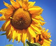 Fondo del verano, girasol amarillo brillante Imagen de archivo