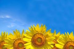 Fondo del verano, girasol amarillo brillante sobre el cielo azul Foto de archivo libre de regalías