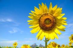 Fondo del verano, girasol amarillo brillante sobre el cielo azul Fotografía de archivo
