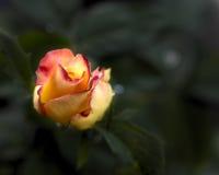 Fondo del verde de Rose rosada y amarilla foto de archivo