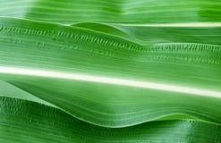 Fondo del verde del primer de la hoja del maíz Foto de archivo