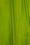 Fondo del verde del primer de la hoja del maíz Fotos de archivo libres de regalías