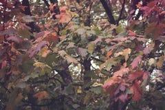 Fondo del vintage del árbol de arce imagen de archivo