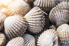 Fondo delizioso o menu bollito o cotto a vapore dell'alimento dei frutti di mare del cocklesScallop Fotografie Stock