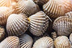 Fondo delizioso o menu bollito o cotto a vapore dell'alimento dei frutti di mare del cocklesScallop Immagini Stock Libere da Diritti