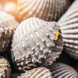 Fondo delizioso o menu bollito o cotto a vapore dell'alimento dei frutti di mare del cocklesScallop Fotografia Stock