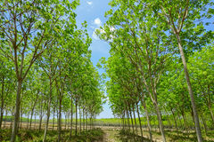 Fondo dell'albero della piantagione di gomma Immagine Stock