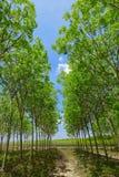 Fondo dell'albero della piantagione di gomma Immagini Stock