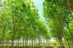 Fondo dell'albero della piantagione di gomma Fotografia Stock