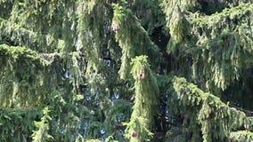 Fondo dell'albero di abete archivi video