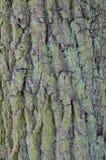 Fondo dell'albero di corteccia della quercia Fotografia Stock