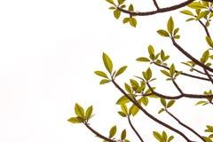 Fondo dell'albero di plumeria Immagine Stock Libera da Diritti