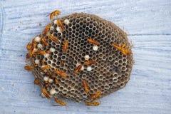 Fondo dell'alveare della vespa Fotografia Stock Libera da Diritti