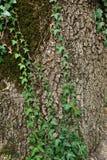 Fondo dell'edera sulla corteccia di albero Fotografie Stock