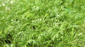 Fondo dell'erba dell'aneto stock footage