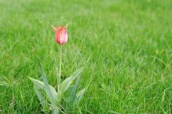 Fondo dell'erba verde con il tulipano di rosa del fiore Immagine Stock
