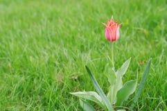 Fondo dell'erba verde con il tulipano di rosa del fiore dello slngle Fotografie Stock Libere da Diritti