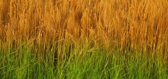 Fondo dell'erba verde e dell'orzo dorato & x28; agricoltura, raccolto, Fotografie Stock