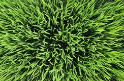 Fondo dell'erba verde struttura dell'erba verde, astratta immagini stock